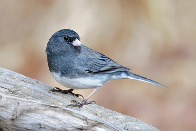 Junco - Dark-eyed - Dunning Lake, MN - 16