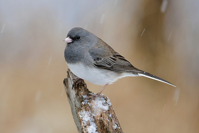 Junco - Dark-eyed - Dunning Lake, MN - 10