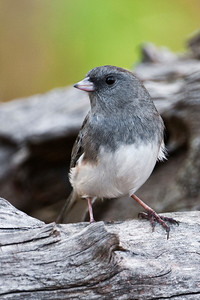 Junco - Dark-eyed - Dunning Lake, MN - 11