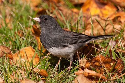Junco - Dark-eyed - Dunning Lake, MN - 03
