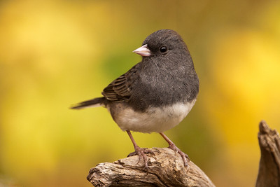 Junco - Dark-eyed - Dunning Lake, MN - 18