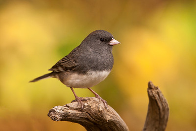 Junco - Dark-eyed - Dunning Lake, MN - 15