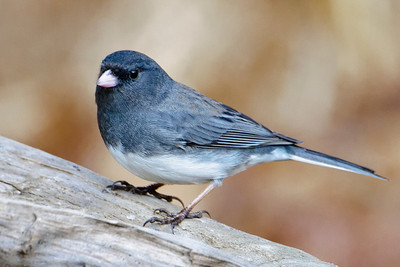 Junco - Dark-eyed - Dunning Lake, MN - 07