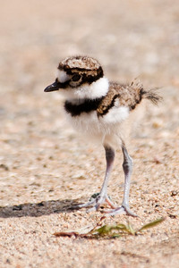 Killdeer - baby - Trout Lake - Bovey, MN - 03