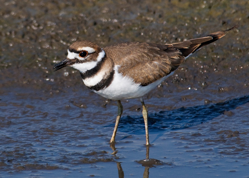 Killdeer - Milbank, SD