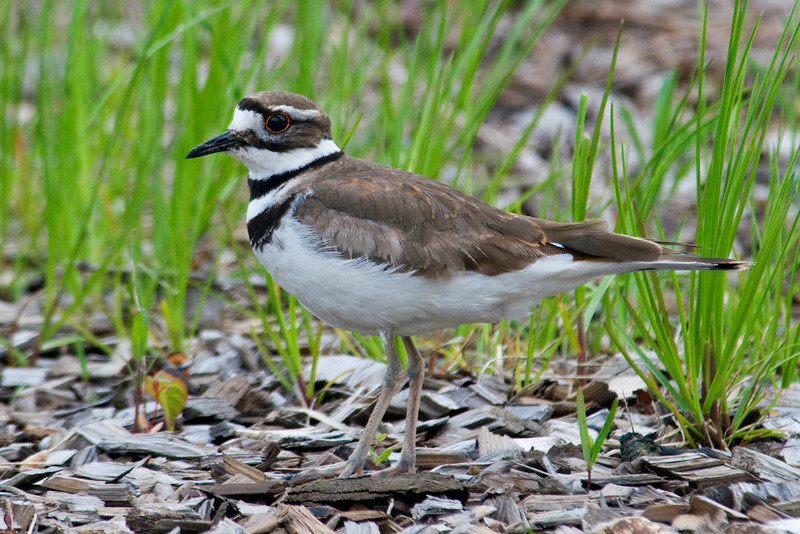Killdeer - Trout Lake - Itasca County, MN - 03
