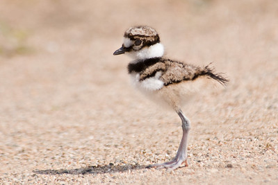 Killdeer - baby - Trout Lake - Bovey, MN - 02