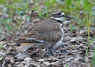 Killdeer - adult & baby - Trout Lake - Bovey, MN - 03