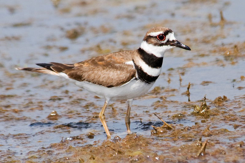 Killdeer - Cape Hatteras Lighthouse, NC