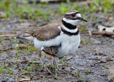 Killdeer - adult & baby - Trout Lake - Bovey, MN - 02