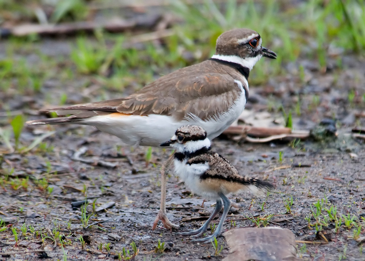 Killdeer - adult & baby - Trout Lake - Bovey, MN - 01