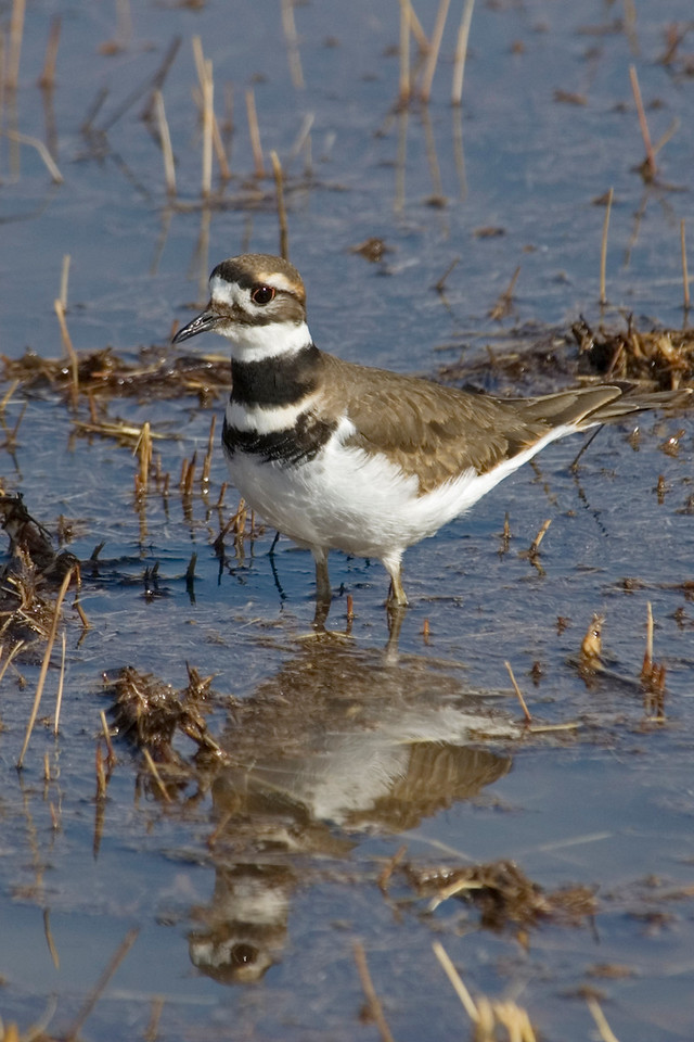 Killdeer - Bosque del Apache NWR - NM