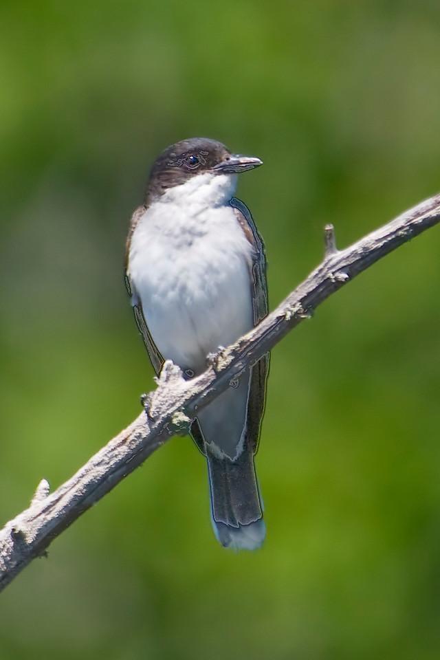 Kingbird - Eastern - Dunning Lake, MN - 02