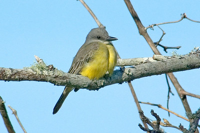Kingbird - Tropical - Apalachicola, FL