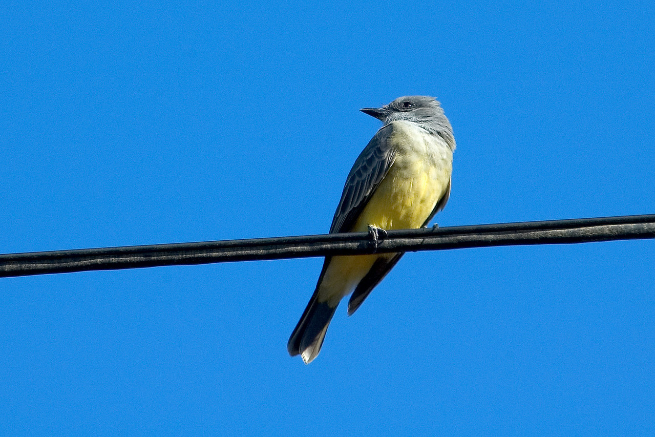 Kingbird - Western - Sunset Cliffs Park - San Diego, CA