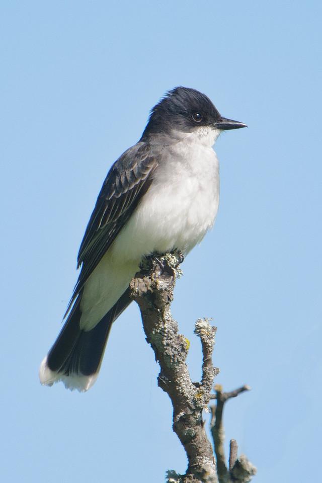 Kingbird - Eastern - Cohasset, MN