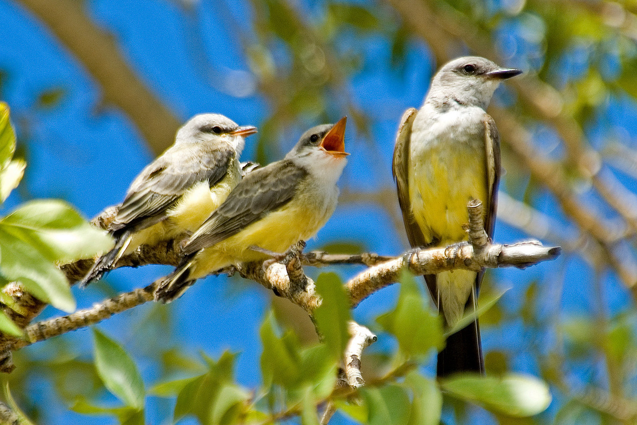 Kingbird - Western - family - New Mexico