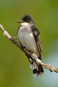 Kingbird - Eastern - Itasca County Road 325 - MN - 01