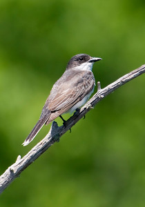 Kingbird - Eastern - Dunning Lake, MN - 03