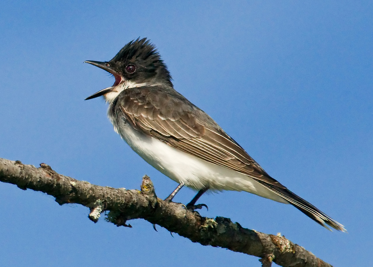 Kingbird - Eastern - Dunning Lake, MN - 01