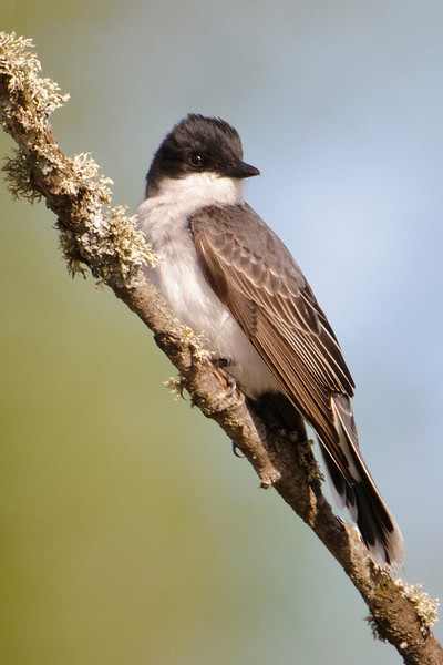 Kingbird - Eastern - Itasca County Road 325 - MN - 03