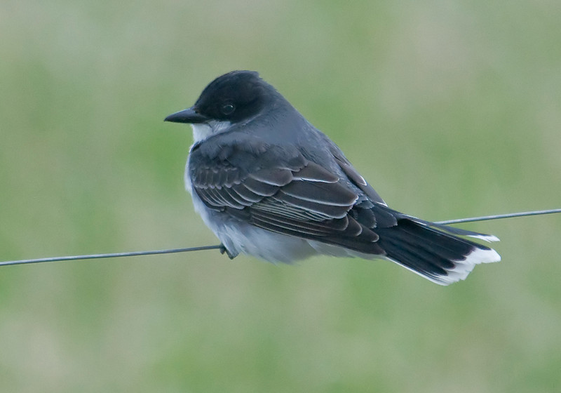 Kingbird - Eastern - Itasca County Road 446 - MN