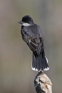 Kingbird - Eastern - Itasca County Road 325 - MN - 02