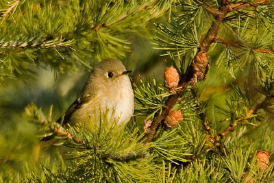 Kinglet - Ruby-crowned - Lake County, MN