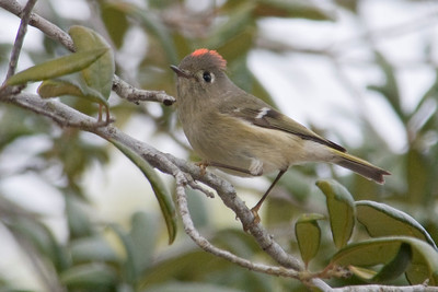Kinglet - Ruby-crowned - Crooked Island, FL