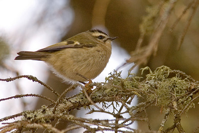 Kinglet - Golden-crowned - Lake County, MN