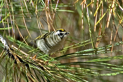 Kinglet - Golden-crowned - Bandelier National Monument - NM