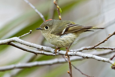 Kinglet - Ruby-crowned - St. George Island, FL