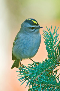 Kinglet - Golden-crowned - Dunning Lake, MN - 02