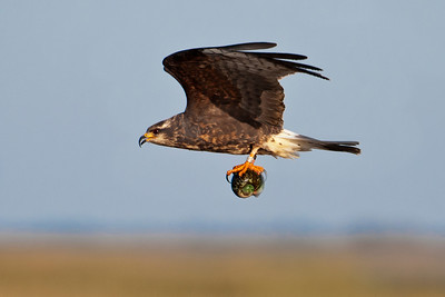 Kite - Snail - female - carrying snail - Lake Toho - Kissimmee, FL - 03