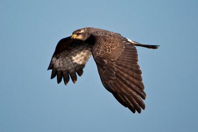 Kite - Snail - female - Lake Toho - Kissimmee, FL - 04