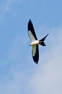 Kite - Swallow-tailed - Overstreet Road - Osceola County, FL