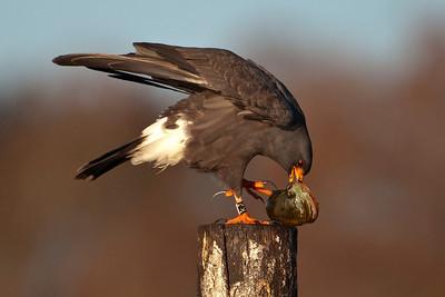 Kite - Snail - male - with snail - Lake Toho - Kissimmee, FL - 02