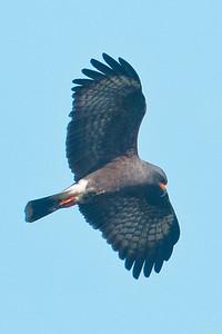 Kite - Snail - male - Lake Toho - Kissimmee, FL - 02