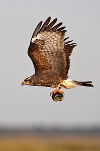 Kite - Snail - female - carrying snail - Lake Toho - Kissimmee, FL - 02