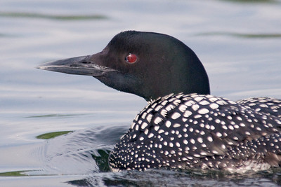 Loon - Common - close - Dunning Lake, MN - 01