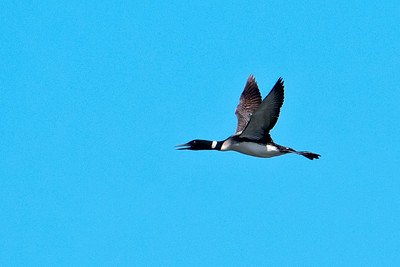 Loon - Common - Dunning Lake, MN - 13