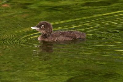 Loon - Common - baby - Dunning Lake, MN - 02