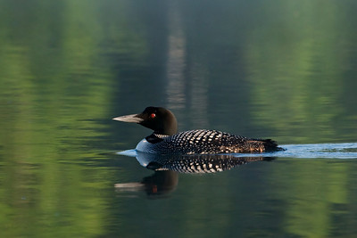 Loon - Common - Dunning Lake, MN - 07