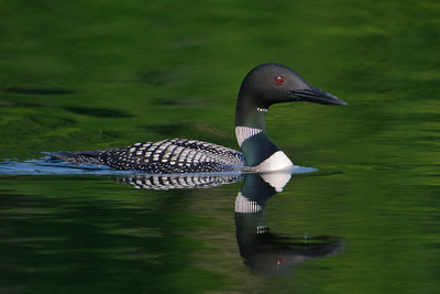 Loon - Common - Dunning Lake, MN - 12