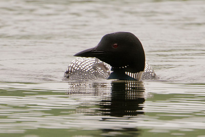 Loon - Common - Dunning Lake, MN - 09