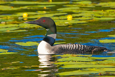 Loon - Common - Dunning Lake, MN - 06