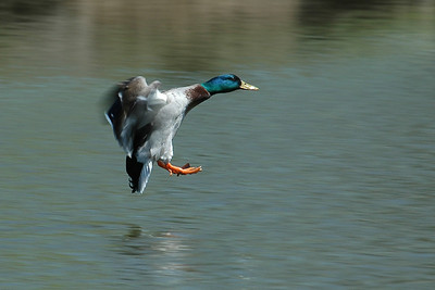 Mallard - male - (landing) - Strattford, Ont