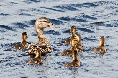 Mallard - female and babies - Grand Rapids, MN - 03