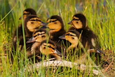 Mallard - babies - South Point - Ocracoke Island, NC