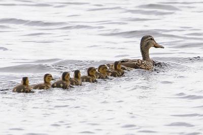 Mallard - female and babies - Grand Rapids, MN - 01